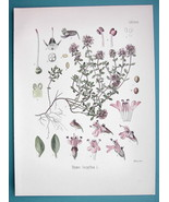 THYME Medicinal Thymus Serpyllum - Beautiful COLOR Botanical Print - $15.30