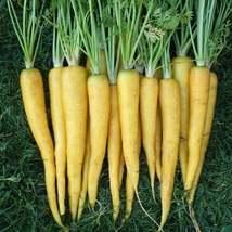 50Pcs Carrot Solar Yellow Vegetable Seeds Daucus Carota Seed - $19.84