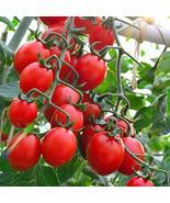 Principe Borghese Tomato Seeds Plant Seeds Tomato Seeds 150 Seeds tkomguy - £22.68 GBP