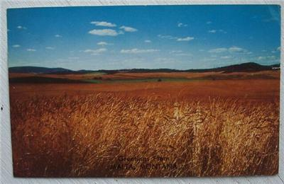 1950's PC Grain Field View Greetings from Malta Montana