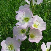 Very Wonderful 4 Variety Showy Evening Primrose Flower Fresh Seeds #IMA47 - $14.99+