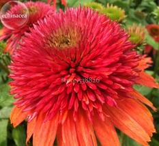 Best Price 100 Seeds Orangeberry Echinacea,Diy Flower Seeds TS253T Dg - $7.00