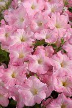 150 Pelleted Petunia Seeds Celebrity Chiffon Morn FLOWER SEEDS - Outdoor Living - $53.99