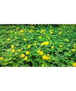 3 Variety Exotic Flower Arachis Pintoi Seeds #IMA40 - $41.99+
