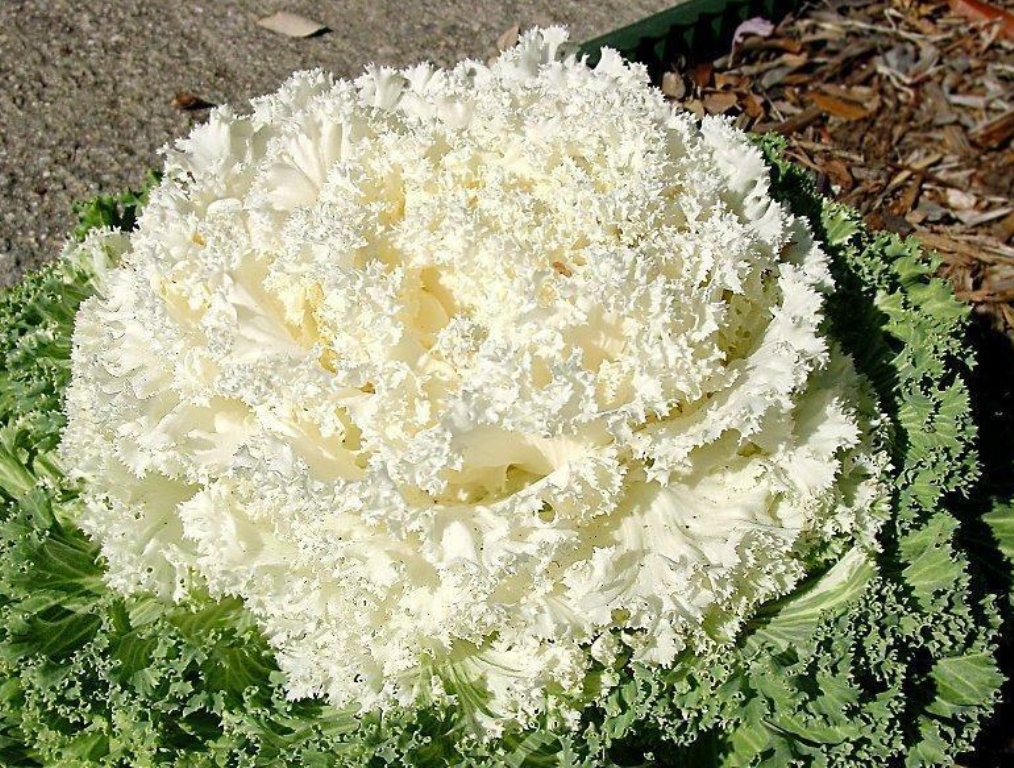 Primary image for 40 Pcs Seeds Ornamental Kale Kamome White Plant - RK