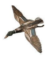 Jackite Mallard Duck Drake Decoy Kite / Windsock - $33.95