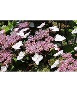 1 Starter Plant of Hydrangea Serrata 'Beni Gaku' - Beni-Gaku Lacecap Hyd... - $63.36