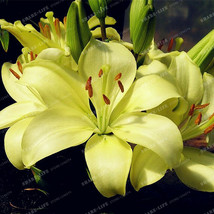 Lily Bulbs, Light Yellow Lily Flower, Rare Flower Bulbs, Beautiful Lily Flowers - $9.99+