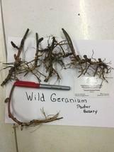 Geranium Wild 20 roots maculatum image 2