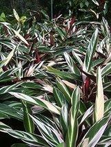 1 STARTER PLANT of Stromanthe Sanguinea Triostar Compact Never-Never Plant - $43.56