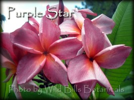 Plumeria frangipani *Purple Star* tip cutting Fragrant, Rare & Exotic - $18.95