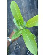 Live Plant Sapote Manilkara Zapota Sapodilla Nispero Fruit tree medlar l... - $71.99