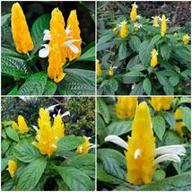 PACHYSTACHYS LUTEA ~ YELLOW SHRIMP PLANTS ~ 2 Plants1 feet Tall - $23.00