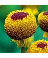 50+ HELENIUM AUTUMN LOLLIPOP PERENNIAL FLOWER SEEDS - $4.89