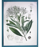 CORKWOOD Plant Medicinal Duboisia Myoporoides - Beautiful COLOR Botanica... - $26.01