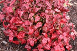 10 Dwarf Nandina Firepower plants (ornamental shrub) image 4