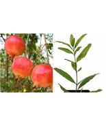 Punica granatum - Salavatski Russian Pomegranate (Russian-Turk) - Free s... - $60.99