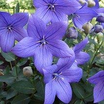 50 Balloon Flower Blue Seeds Platycodon Grandiflorus Blue - $9.89