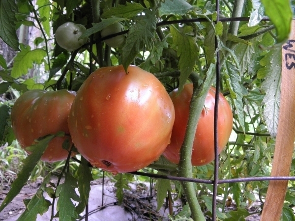 Wes tomato seed - finest red heirloom, heart shape
