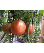 Wes tomato seed - finest red heirloom, heart shape - $4.05