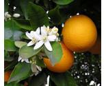 Orange blossom thumb155 crop