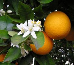 Orange blossom thumb200