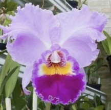 "Cattleya Horace 'Maxima' 4.5"" pot Cattleya Orchid  Plant Blooming Size 0... - $24.28"