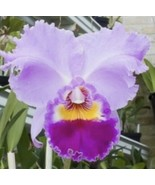 """Cattleya Horace 'Maxima' 4.5"""" pot Cattleya Orchid  Plant Blooming Size 0... - $24.28"""