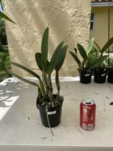 Pot Elegant Walker 'non' CATTLEYA Orchid Plant Pot BLOOMING SIZE 0506 R image 2