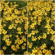 Tagetes lemmonii (Mexican Marigold)- 1 Feet - Ship in 1 gal Pot - £59.26 GBP