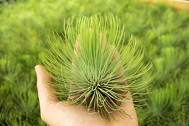 Airplant Andreana - hardy Live Plant XL plants for terrariums red flower... - $24.99