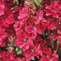 25 Pcs Giant Red Delphinium Flower Seeds Red Flowers Perennial - $9.75