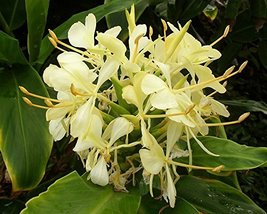 1 Bare Root of Hedychium Flavum (Bill Byron Selection) Yellow Butterfly Ginger - $35.64