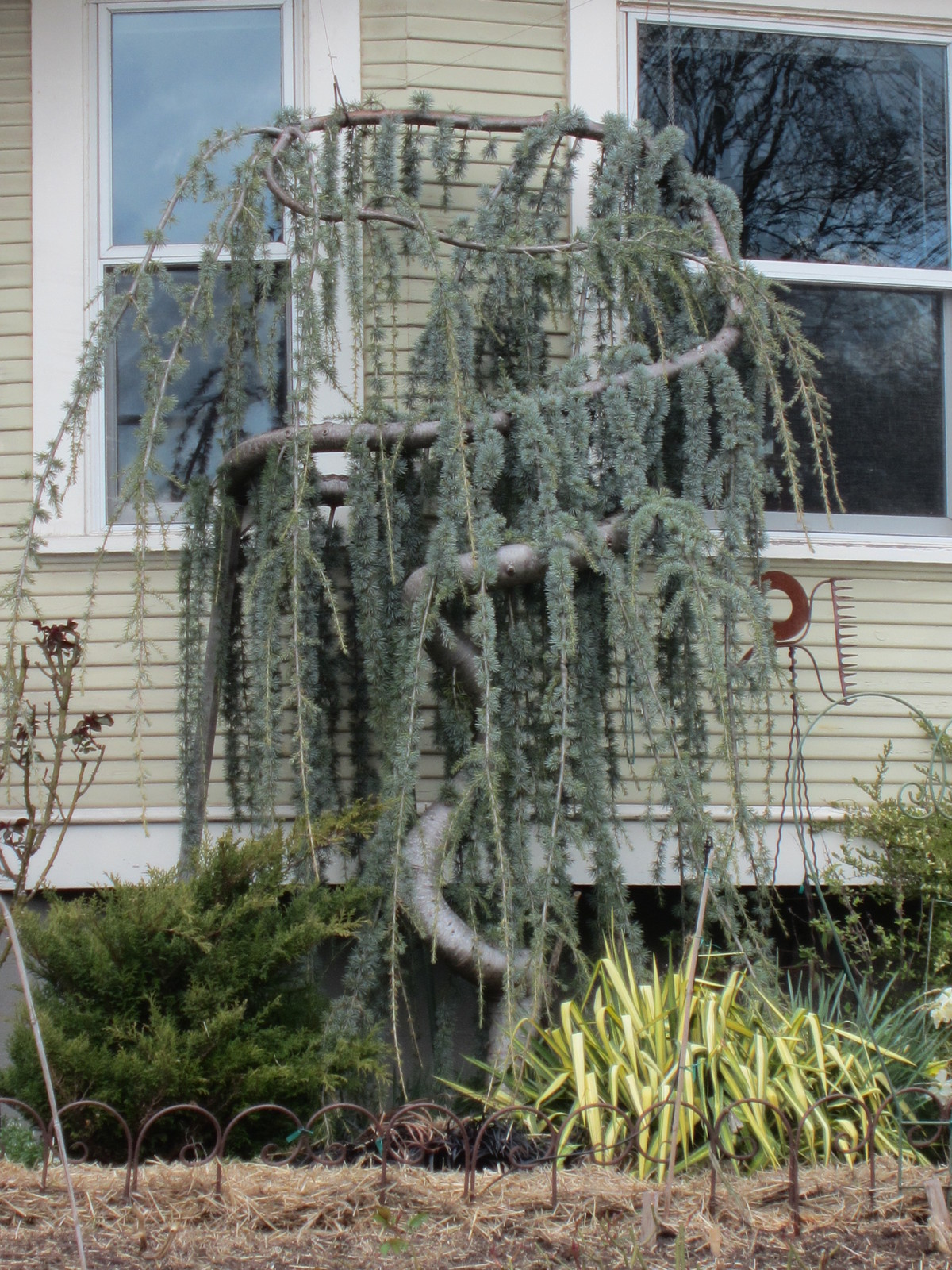 Primary image for Live Plant Weeping Blue Atlas Cedar Trade Gallon Pot