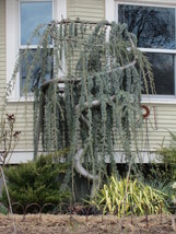 Live Plant Weeping Blue Atlas Cedar Trade Gallon Pot - $99.99
