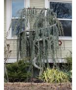 Live Plant Weeping Blue Atlas Cedar Trade Gallon Pot - $99.99
