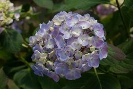 10 Light Purple Hydrangea Seeds Perennial Hardy Garden Shrub Bloom - TTS - $23.95