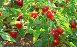 9 Variety Seeds - Red Cherry Hot Pepper Seeds #SMS60 - $12.99+
