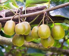 15 Seeds of Anna Kiwi - Actinidia arguta - $13.70
