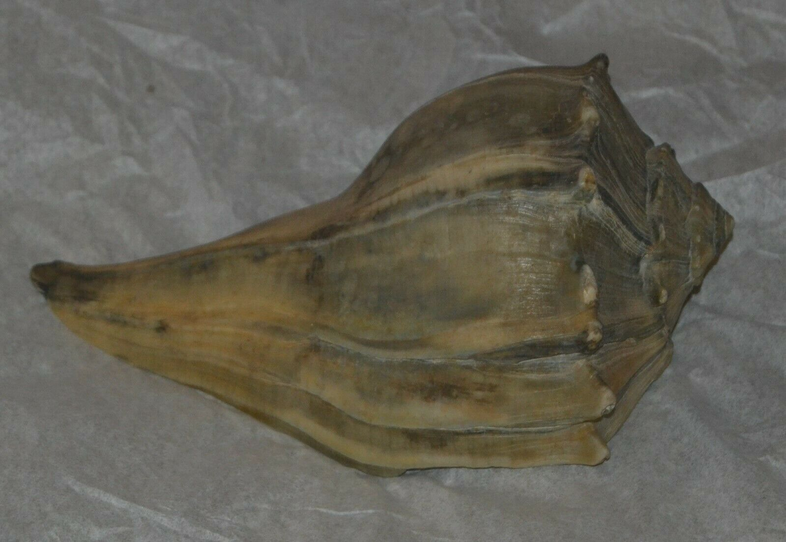 Primary image for Conch Shell Seashell