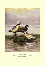 Stellars and Spectacled Eiders by Allan Brooks - Art Print - $19.99+