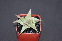 """Aloe cv Blue mist hybrid exotic raren color outdoor succulent plant cacti 2"""" pot - $24.00"""
