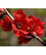 1 Starter Plant of Chaenomeles X Superba 'Hollandia' - Chaenomeles 'Holl... - $79.20