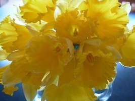 WILD DAFFODIL 25 bulbs  Lent Lily (Narcissus pseudonarcissus) image 2