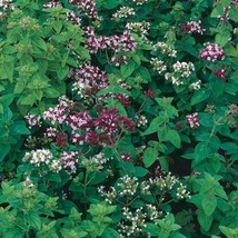 Italian Oregano - 100 seeds! Great for pizzal! COMB. S/H! See our store! - $15.48