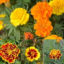 French Marigold Mix Seeds. 128K seeds, or 1 pound - $85.58