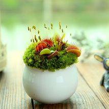 100 Seeds Flytrap Seeds Miniature Bonsai Plant Carnivorous Flower Seeds S079 - $13.58