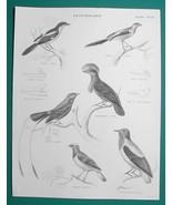 BIRDS Ornithology Vanga Srike Fiscal Tanager Finch - c1835 Fine Quality ... - $16.20