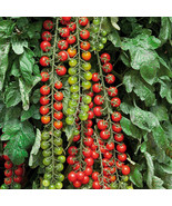 BEST PRICE 100 Seeds Rapunzel Green Red Tomato,DIY Vegetable Seeds QC065M DG - $6.99