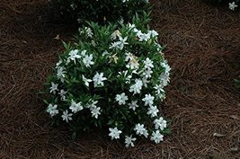 "1 Starter Plant of Frost Proof Gardenia - JR Gallon 6"" Pot - $81.12"